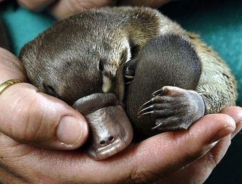 Babies,platypus,cute,naps