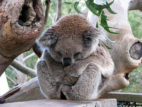 cute koala sleeping marsupial - 8133122816
