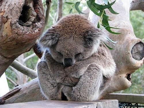 cute koala sleeping marsupial - 8133122816