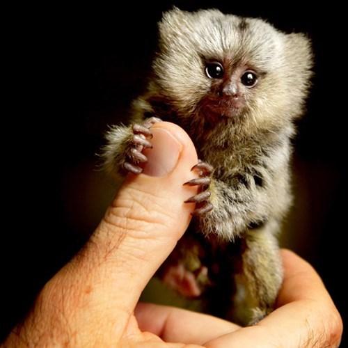Babies cute marmoset