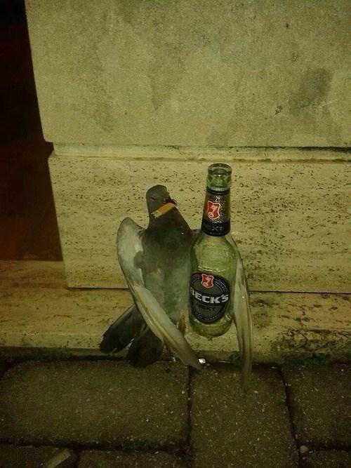 wtf pigeon drunk funny - 8135368448