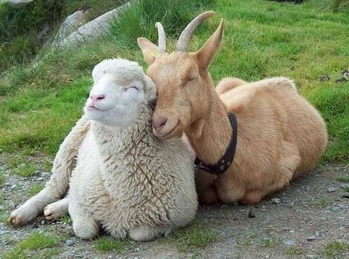 spring nuzzle goats sheep love