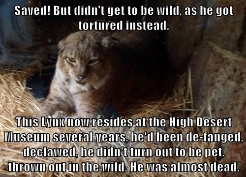 Saved! But didn't get to be wild, as he got tortured instead.  This Lynx now resides at the High Desert Museum several years, he'd been de-fanged, declawed, he didn't turn out to be pet, thrown out in the wild. He was almost dead.