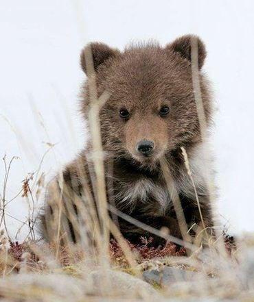 spring cute bear cubs - 8138461696
