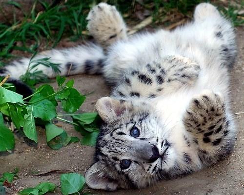 snow leopard cute cubs - 8138475776