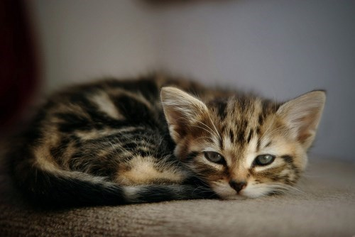 kitten,cute,sleepy