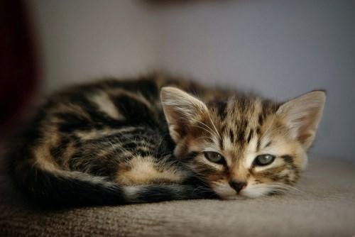 kitten cute sleepy - 8138479360