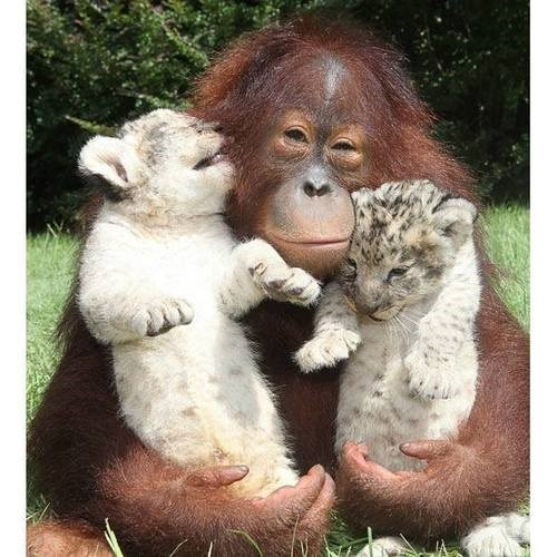 firends cute orangutan big cats