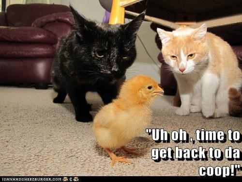 chicks,chickens,Cats,hunt