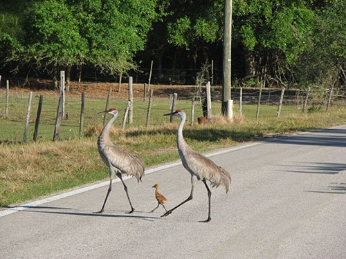 cute,walking,family,cranes