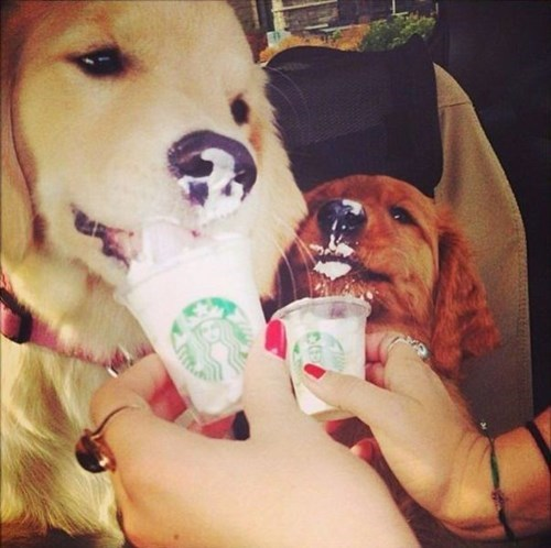 dogs Starbucks cute noms - 8139751168