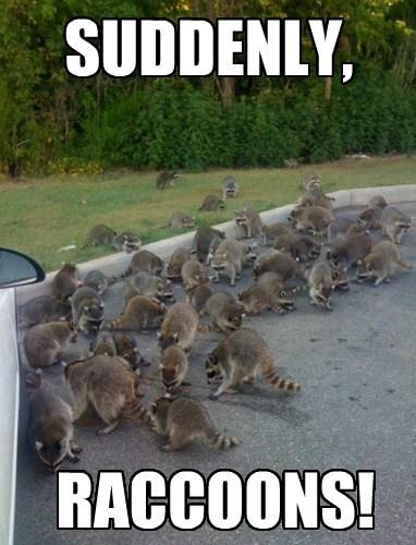 funny weird raccoons - 8140516864