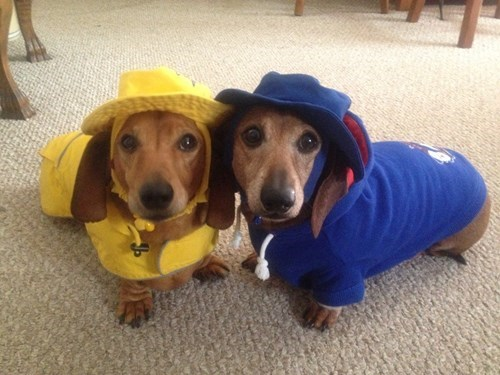 cute dogs dachshund hoodie raincoat g rated - 8140644352