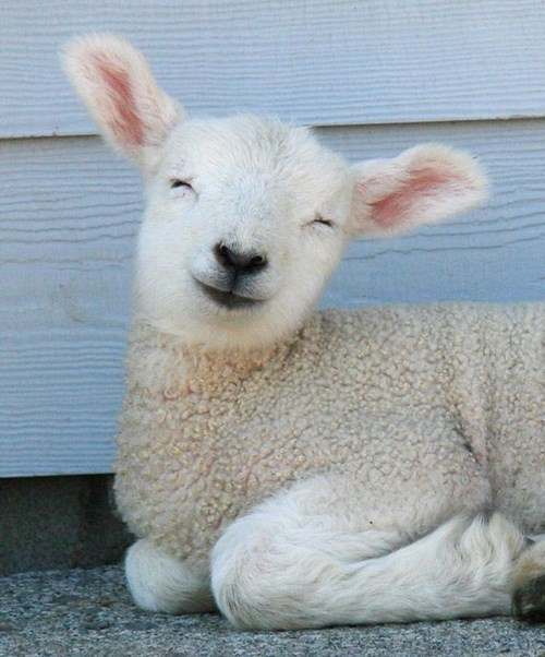 cute lambs sheep smile - 8143848192
