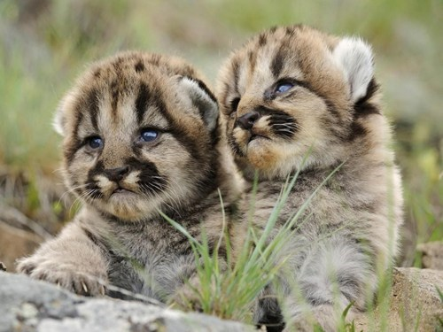 mountain lions kitten cute cubs twins - 8146135296