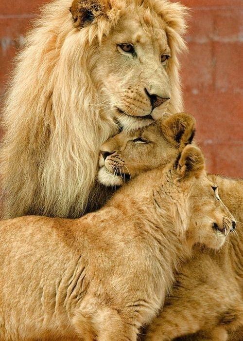 lions snuggle pride cute - 8146617088