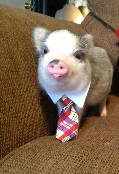 tie,poorly dressed,pig