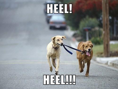 dogs walking heel funny - 8147762944