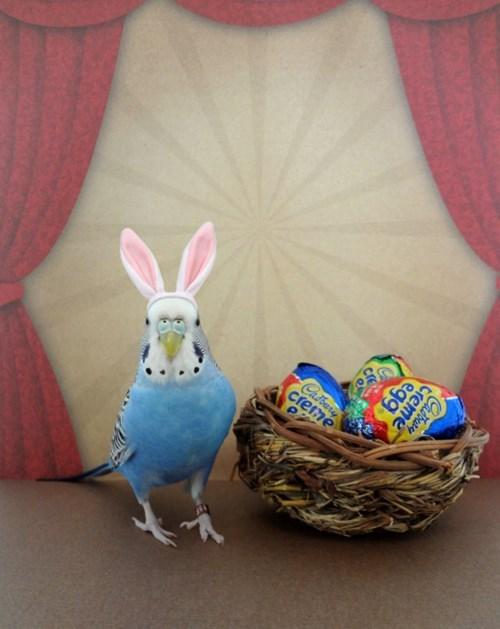 easter,bunny ears,parakeet,birds