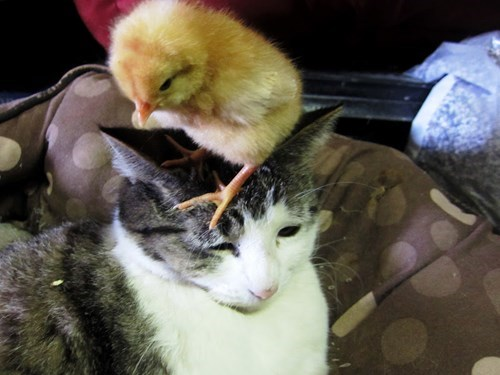 easter,chicks,list,cute,Cats,funny