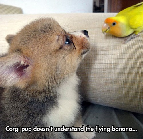dogs parrots cute corgis - 8149272832