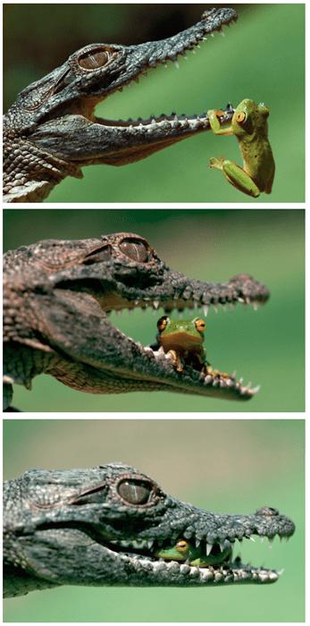 brave,funny,aligator,frogs