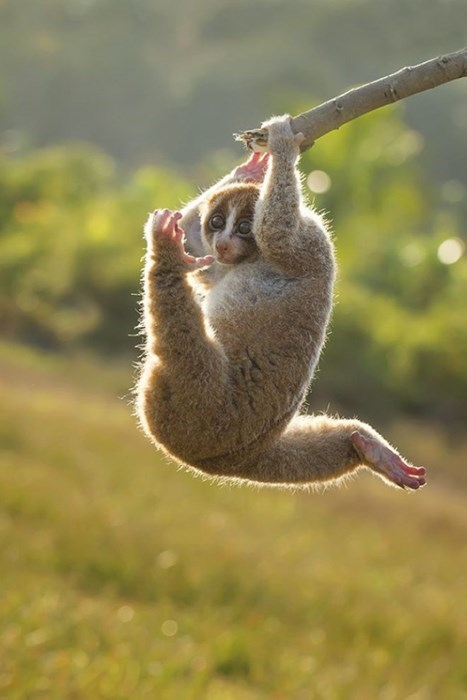 sunda slow loris cute primate playful squee - 8150742272