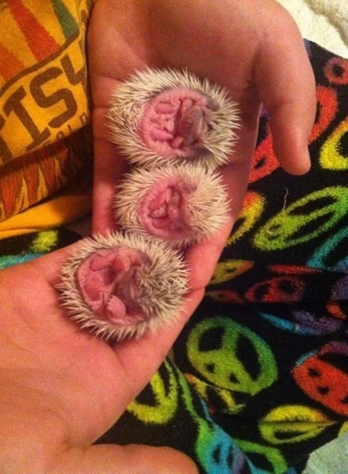 Babies triplets cute hedgehog