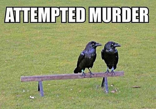 murder funny puns crows