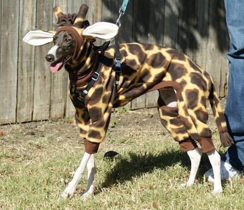 costume dogs poorly dressed giraffes - 8150977792