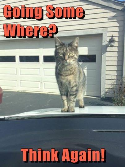 boss cars Cats funny - 8151459584