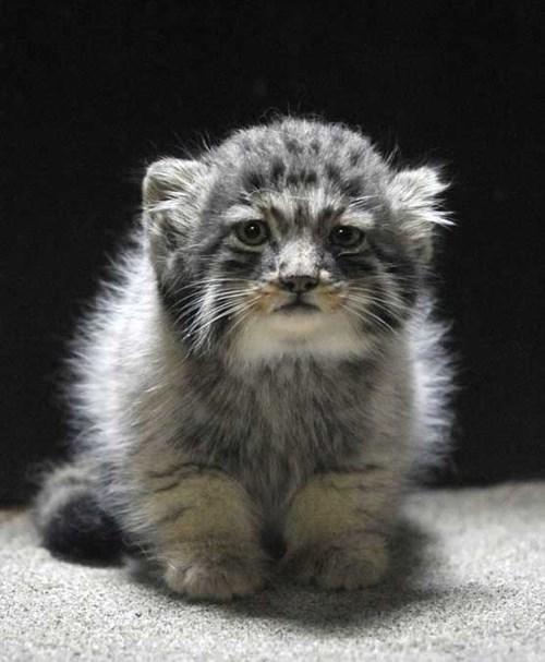 kitten cute wild - 8152177664