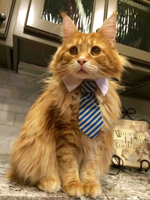 Cats tie poorly dressed