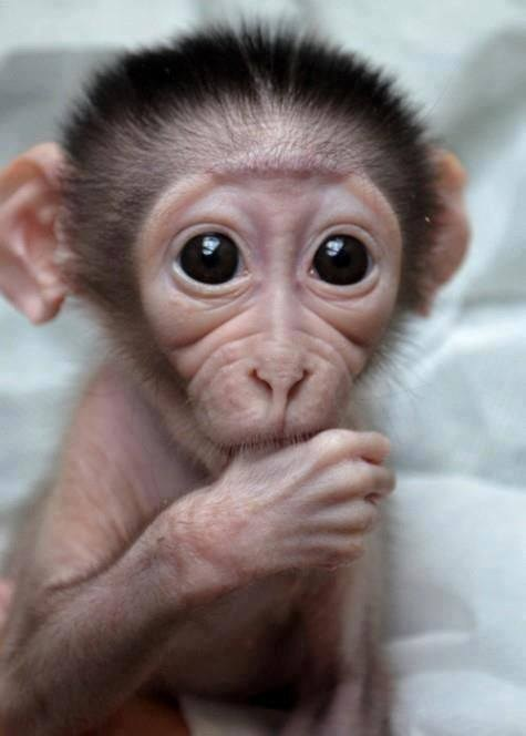 Babies cute monkeys squee - 8153892096
