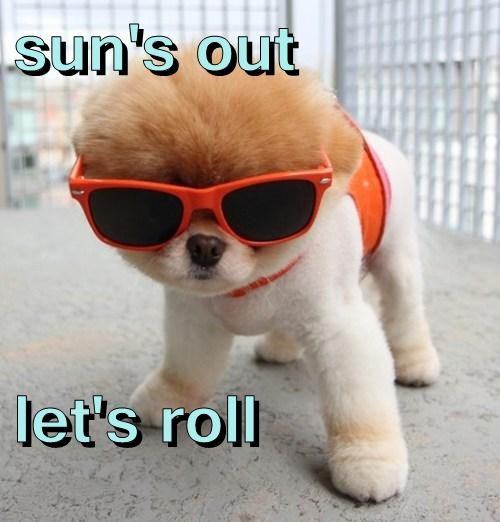 pomeranian,dogs,summer,cute,sun