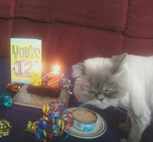 Cats birthday grumpy funny - 8157273344