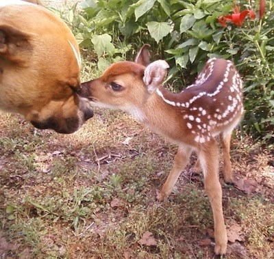 cute,deer,dogs,help,gentle,fawn