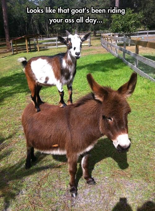 bossy donkey puns goats - 8157329664