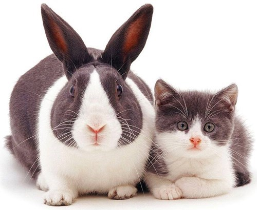 Cats rabbits lookalike twins - 8157344256