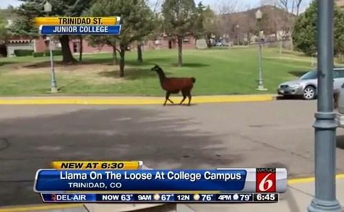 college llama news