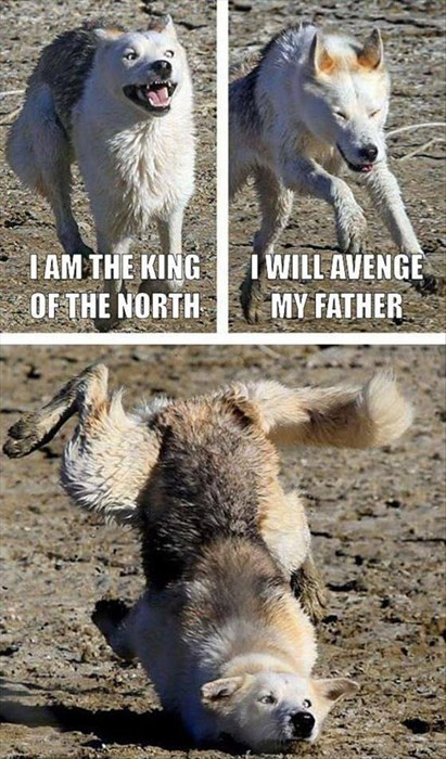 dogs clumsy wolves