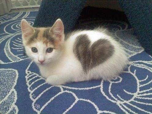 Cats cute heart kitten - 8158712576