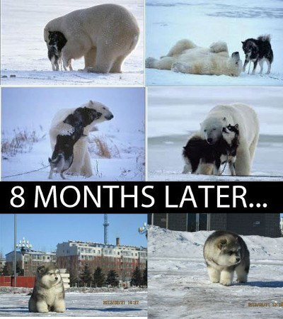cute dogs funny polar bears huskies - 8159855360