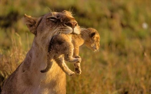 cute,cubs,lions,mama