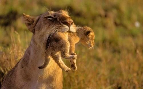 cute cubs lions mama - 8159958784