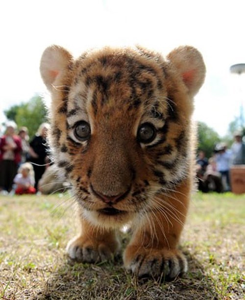 cute curious cubs tigers - 8159974400