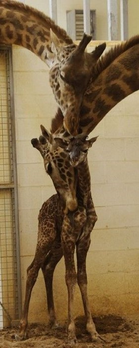 Babies cute love family giraffes - 8161019648
