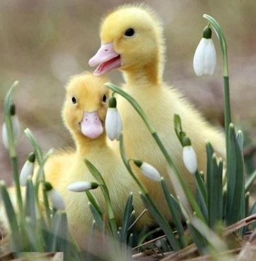 spring ducklings cute - 8161024000