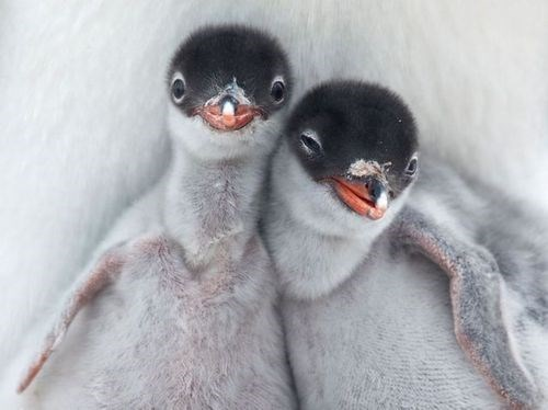 Babies penguins cute world penguin day - 8161037056