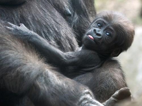 cute gorilla - 8162022144